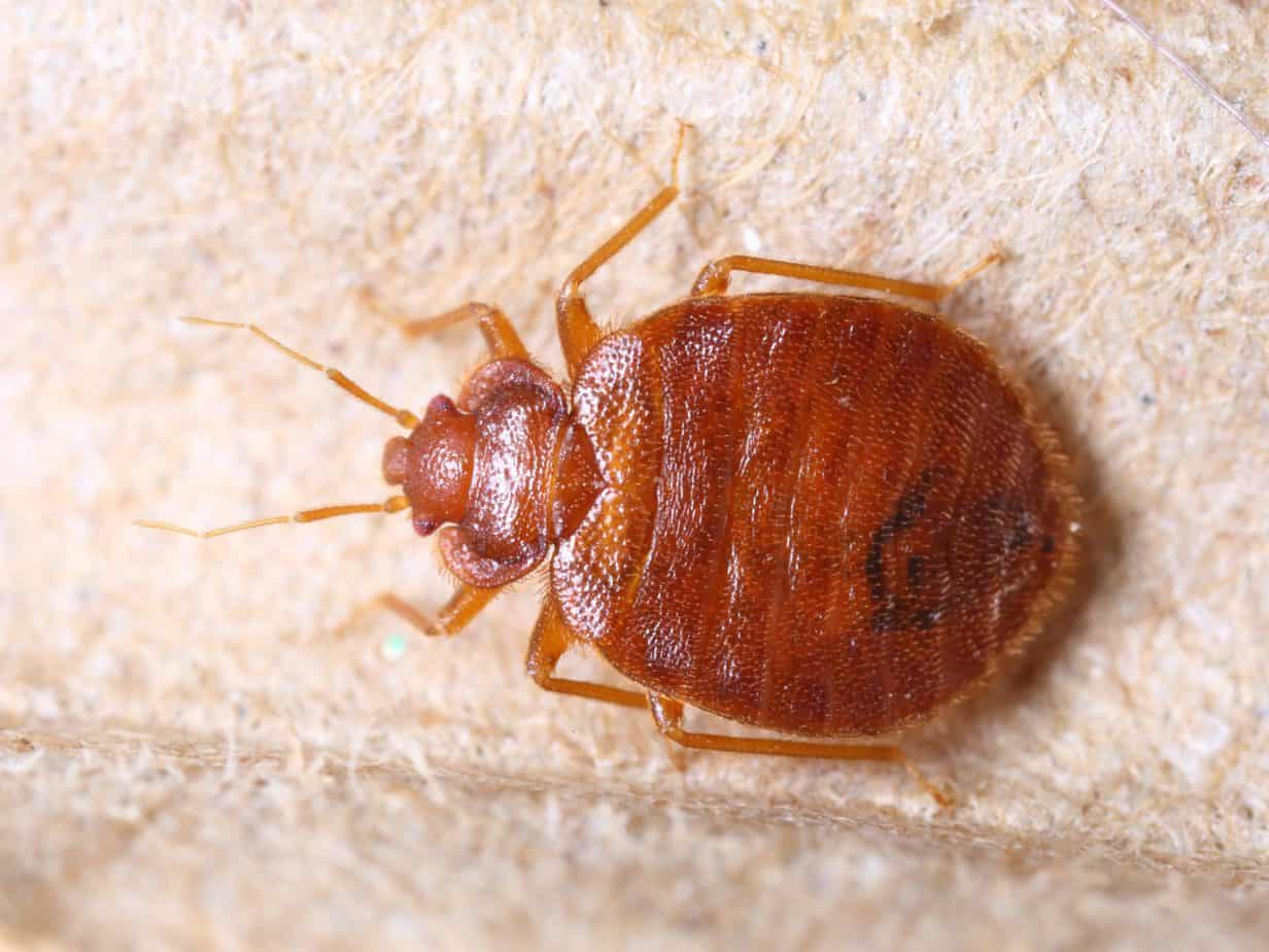 Close up of cimex lectularius, a bed bug, on corrugated recycle paper.