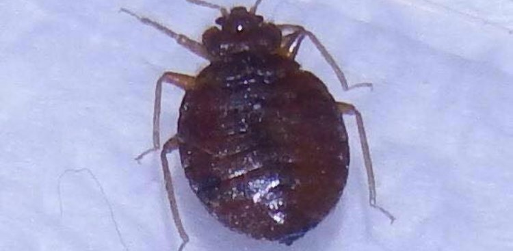What Eats Bed Bugs? What is a Natural Predator of Bed Bugs? [Videos]