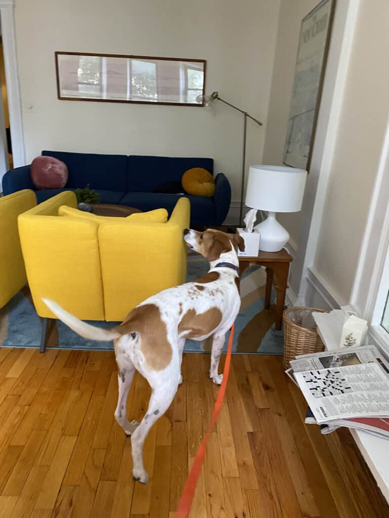 Brooklyn bed bug dog searching a yellow cushioned chair.